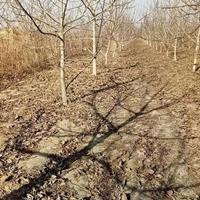 运城薄皮核桃树8公分价格·占地薄皮核桃树10公分价钱·产地