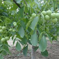 运城核桃树·运城薄皮核桃树种植基地·薄皮核桃树产量详情