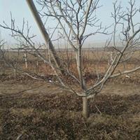 供应占地核桃树·占地核桃苗·10公分15公分占地核桃树多少钱