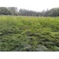 供应1年生合欢小苗·地径1-2公分合欢·高度1-2米合欢小苗