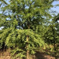 供应3-30公分各种规格东方杉