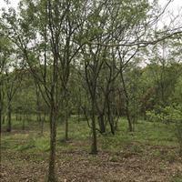 供应9-20公分光皮树