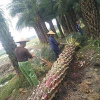 批发福建精品中东海枣(银海枣杆高1-7米,农户价格,物美价廉