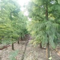 池杉1-12公分