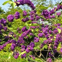 河北定州紫珠的形态特征?多少钱一棵?