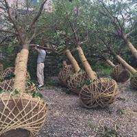 長興香樟樹 15-30公分長興香樟樹 湖州香樟樹基地