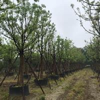 移植香樟樹 浙江15-25公分移栽香樟