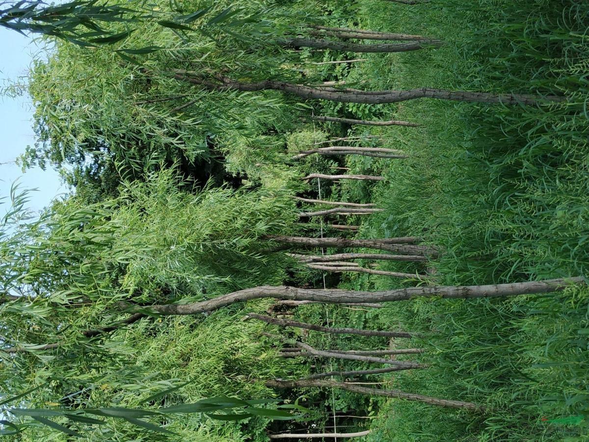 柳树价格,垂柳,直柳,竹柳,速生柳树基地