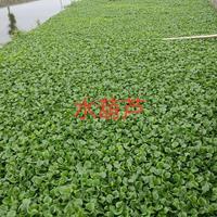 水葫芦行情报价/水葫芦图片展示