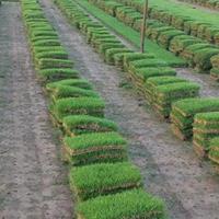 草坪、馬尼拉、混播草、高羊茅
