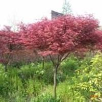 江蘇地區供應,紅楓、雞爪槭,叢生雞爪槭。