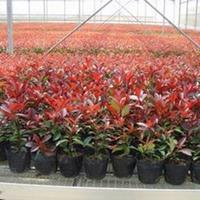 红叶石楠、红王子锦带、花柏球、沙地柏、小叶黄杨