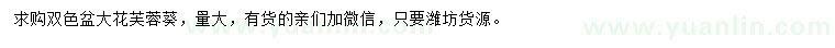 葡京双色盆大花芙蓉葵