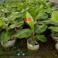 江苏芭蕉盆大350Mm柱高1-1.5米数量3000盆单价50-80元介绍/特征/用途