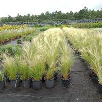 细茎针茅大盆和小盆小盆价格0.5元可售数量30万盆