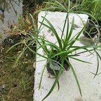 大小规格水生植物旱伞草基地