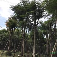 福建[产品]/福建凤凰木价格/报价