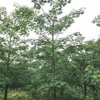 大小规格美人树基地