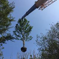 2018年福建樸樹*新報價