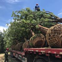 香樟树15至30公分精品2千棵。