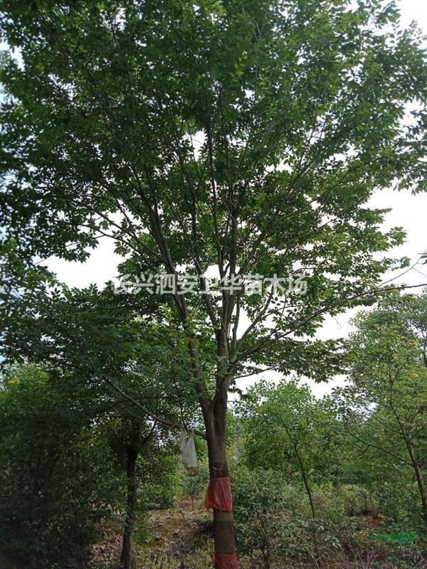 榉树12一25公分。有货苗圃精品