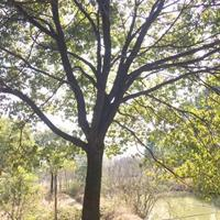 香樟树15一30公分