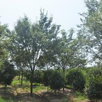 榉树 浙江榉树 榉树基地 优质榉树 榉树价格