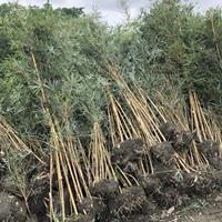 成都温江苗圃处理一批高度2-3米的琴丝竹.2018琴丝竹产地