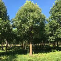 香樟 移栽香樟 14-31公分移栽香樟价格 浙江香樟