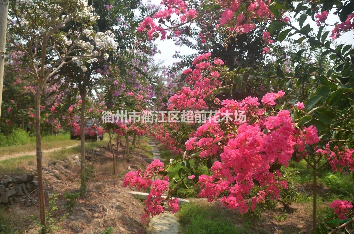 衢州市衢江区超前花木场