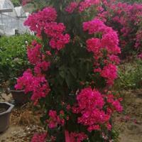 四季红红花三角梅高度180cm冠幅80cm