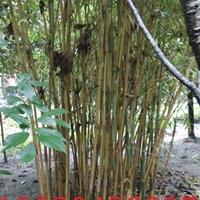 琴丝竹大型种植批发基地.2.5米高琴丝竹价格.竹类批发基地