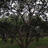 浙江衢州4m×4m精品胡柚树