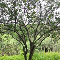 3.5m×3.5m精品胡柚树