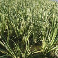 水生植物花叶菖蒲水生美人蕉水生鸢尾西伯利亚鸢尾睡莲荷花供应