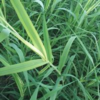 水生植物千屈菜旱伞草花菖蒲花叶芦苇萍蓬草基地长期低价供应
