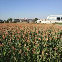 水生植物水葱细叶莎草款爷泽苔水罂粟芦苇基地长期低价供应