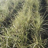 水生植物伊樂藻菹草馬來眼子菜日本大花菖蒲德國鳶尾紅花鳶尾供應