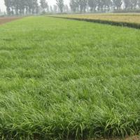 河北定州细叶麦冬草每平米35元