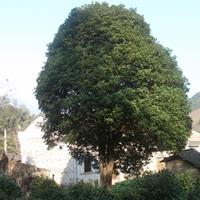 出售桂花树,栾树,朴树,红果冬青,香樟