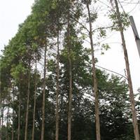 桉树基地批发  桉树价格  桉树图片