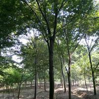 供应12-22公分精品榉树