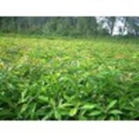 供应木荷小苗·高度60-1米木荷小苗·地径1-2-3公分木荷