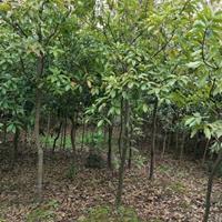 木荷小苗5-6公分价格,2木荷小苗