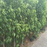 有大量自家种优质细叶榕树,价格优惠