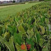 江苏 常州 供应 紫芋 批发价 销售