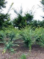 大量供应2公分、3公分鸡爪槭小苗