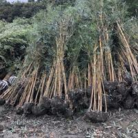 哪里有2-3米琴丝竹基地供应价格 琴丝竹绿化工程苗