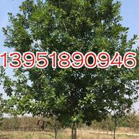 胸径9公分娜塔栎 产地大量常年低价供应
