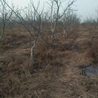 8公分核桃树产地·10公分核桃树产地报价·8公分核桃树多少钱